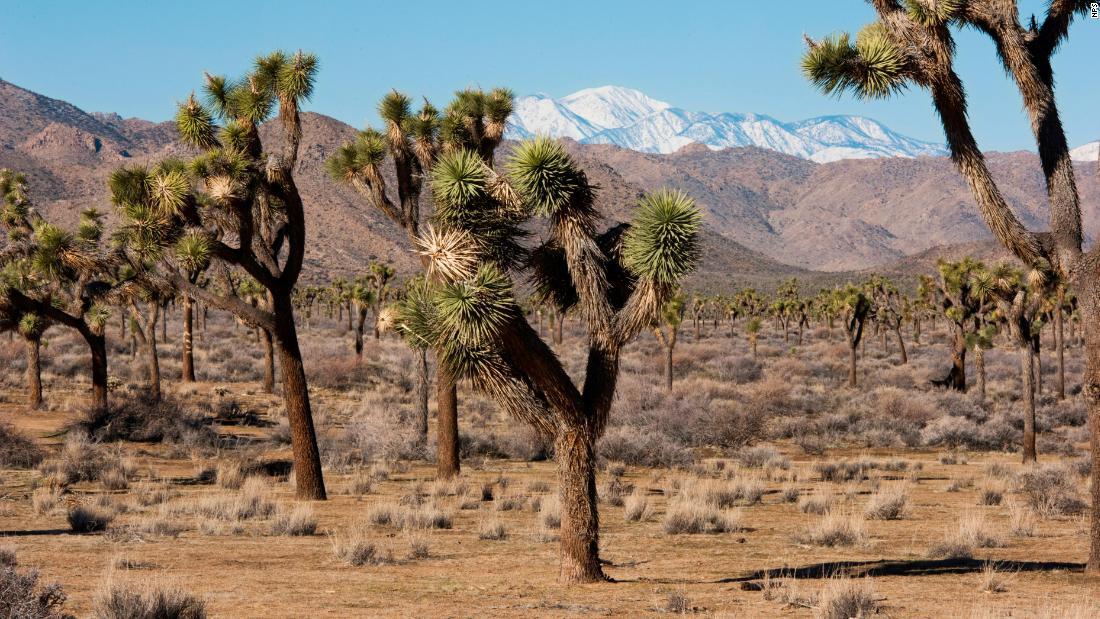 We may have a future without Joshua trees thanks to climate change, study says - CNN