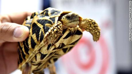 One of the turtles discovered is shown by customs officials.