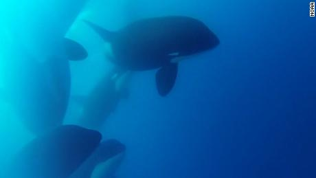Scientists find mysterious killer whales