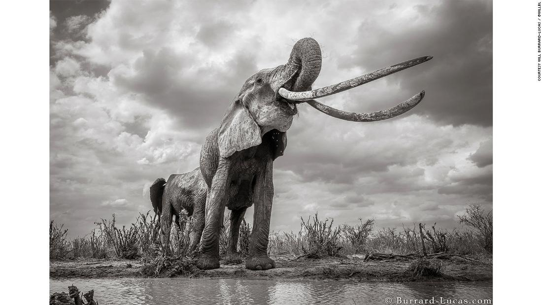 Incredible pictures capture rare 'Elephant Queen' in Kenya