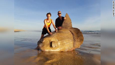 Two fishermen stand beside a giant sunfish that washed up on the Murray River in Australia.