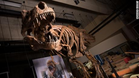 Meet 'Scotty,'  the largest Tyrannosaurus rex ever discovered