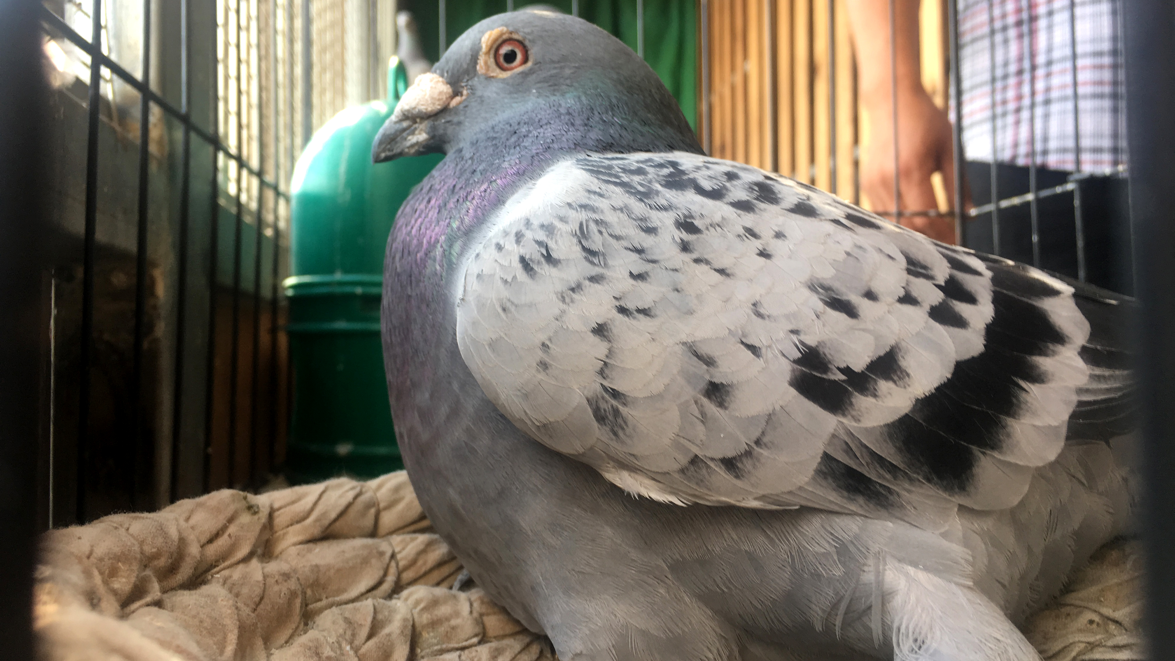 Inside The Fascinating World Of Pigeon Racing In China Cnn Travel
