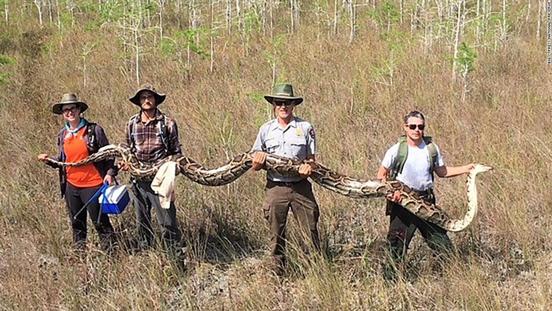 Python captured in Florida sets a record at 17 feet long - CNN