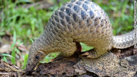 A baby Sunda pangolin nicknamed 'Sandshrew' feeds on termites in the woods at Singapore Zoo.