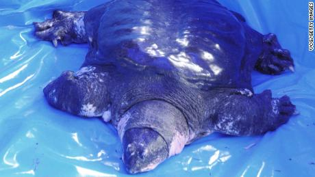 Last known female of rare turtle species dies in China