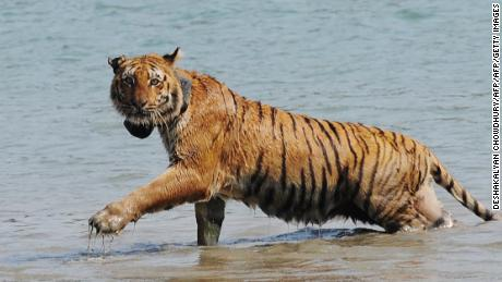 A tiger wearing a radio collar wades through a river after being released by wildlife workers in the Indian Sundarbans.