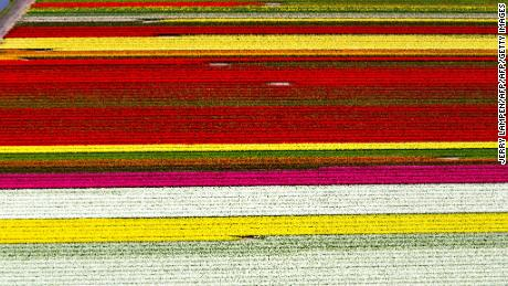 Dutch tulip growers beg selfie-taking millennials to stop trampling their flowers