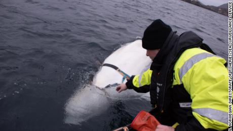 Experts from the Norwegian Directorate of Fisheries released the whale from its harness.