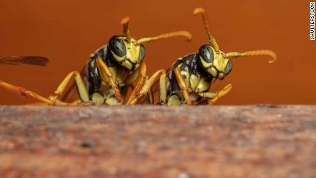 Paper wasps capable of behavior that resembles logical reasoning