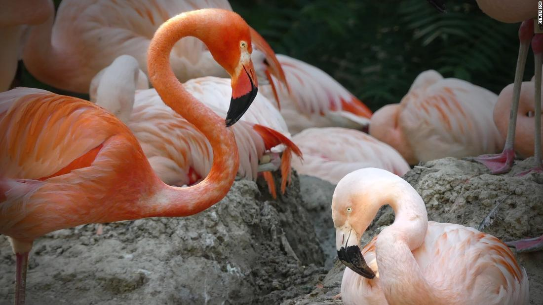 Denver Zoo shares the story of same-sex flamingo couple Lance Bass and Freddie Mercury - CNN