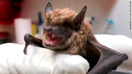 Most rabies infections in the United States come from bats, CDC says