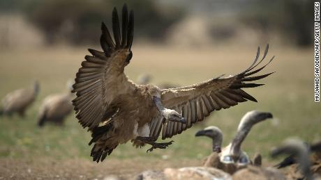 A Cape Vulture spreads its wings as it flies low at the VulPro Vulture Rehabilitation Centre in Hartebeepoortdam in the Magalisburg region on September 15, 2015. Confined to southern Africa, just under 4,000 breeding pairs of Cape Vultures remain in the wild, mostly in South Africa, Lesotho and Botswana. Unless conservation efforts are successful, Africa's largest vulture species may be facing eventual extinction. AFP PHOTO/MUJAHID SAFODIEN        (Photo credit should read MUJAHID SAFODIEN/AFP/Getty Images)