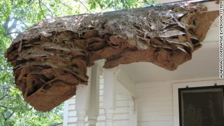 Yellow jacket super nests appearing in Alabama