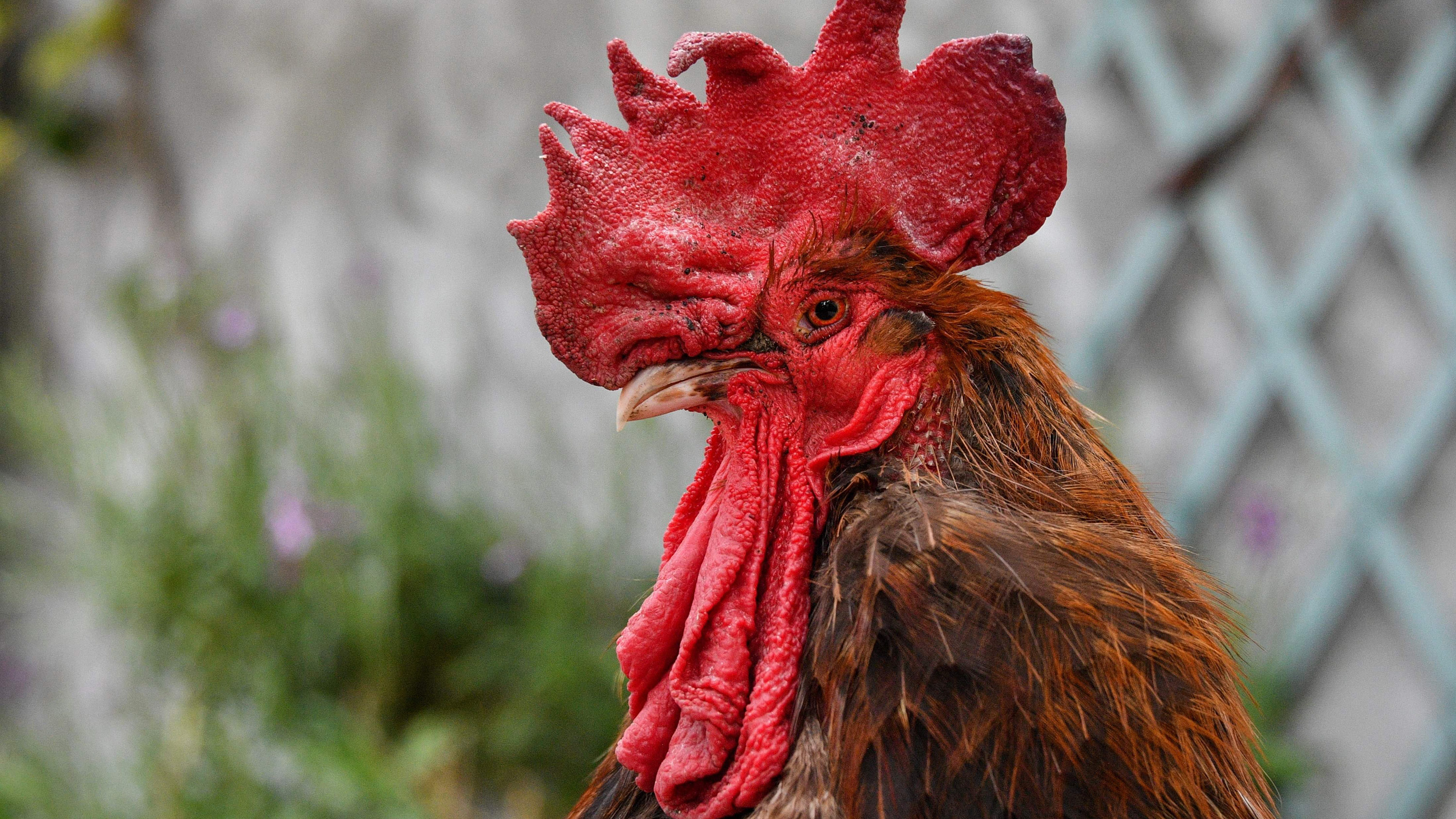 Why a rooster is on trial in France