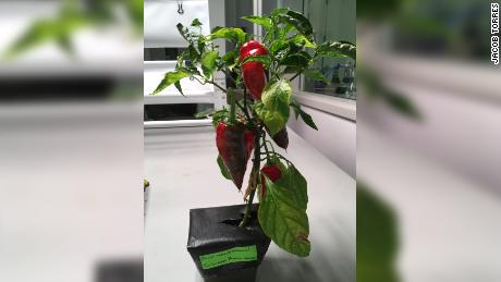 Peppers can provide astronauts with an increase in vitamins.