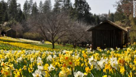 California 'Daffodil Hill' closing because of overtourism