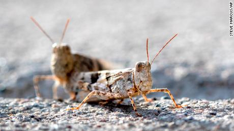 Massive swarm of grasshoppers sweeping through Las Vegas