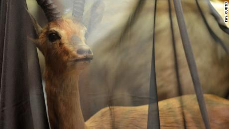 A museum has draped its wildlife exhibits in shrouds to highlight the extinction crisis