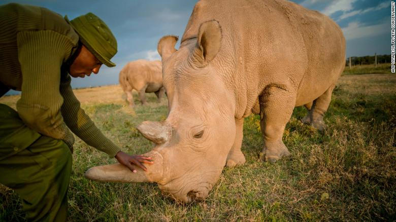 Scientist create two northern white rhino embryos - potentially doubling their population
