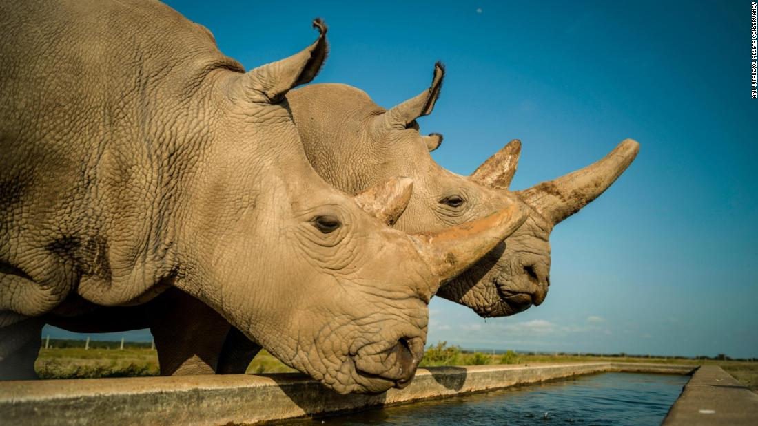 Eggs extracted from the last 2 northern white rhinos may save the species - CNN