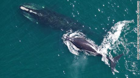 The North Atlantic right whale will soon be extinct unless something is done to save it, researchers warn