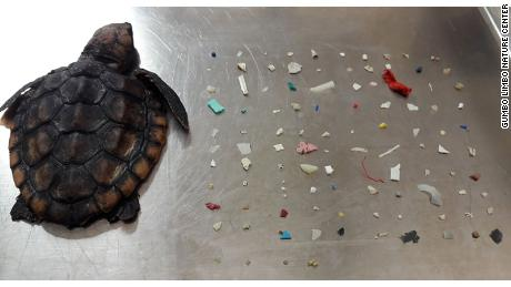 A baby turtle was found with 104 pieces of plastic in its belly