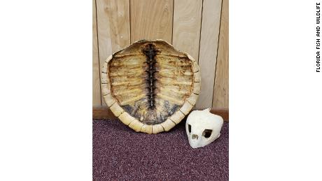 The skull and shell of a Kemp's Ridley sea turtle, the most endangered species of sea turtles, was found in possession of the suspects.