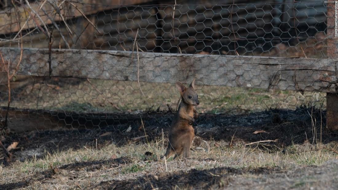 A lone joey is pictured on a scorched patch of ground in Torrington on November 11.
