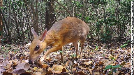 Fanged miniature 'mouse-deer' rediscovered by scientists in Vietnam