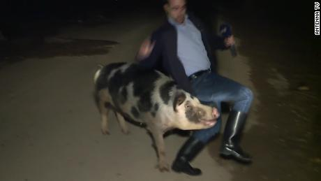 Pig laughs in the studio as reporter chased during live TV broadcast