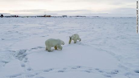 Weak Arctic ice sees 56 polar bears descend on Russian village
