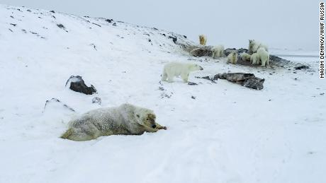 Russian village becomes home to 56 polar bears