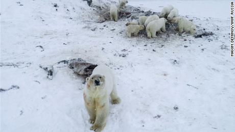 Dozens of Polar Bears Descend Upon Russian Town - WWF
