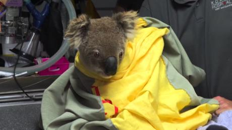 Up to 30% of koalas may have been killed in Australia's New South Wales bushfires