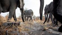 Camera trap image taken of African elephants.