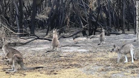 La speranza inizia al canguro uccidendo il terreno, il panico per gli animali australiani devastati dagli incendi delle inondazioni
