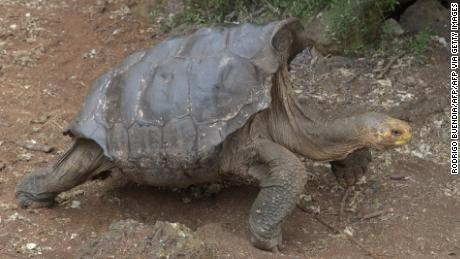地亚哥, the tortoise who saved his entire species, finally retires to uninhabited island