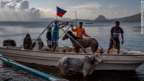 Animals are seen aboard a boat after being rescued from near Taal volcano's crater.