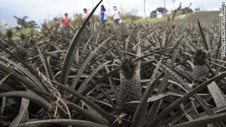 Residents affected by the eruption of Taal volcano walk past pineapples covered in mud in Tagaytay City.
