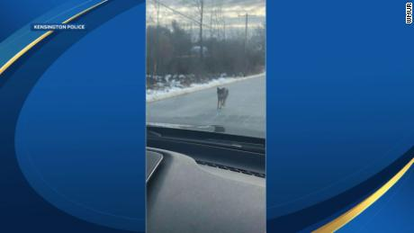Father strangles coyote that grabbed his son in New Hampshire