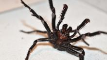 Experts say the Australian funnel-web is one of the most dangerous spiders on Earth.