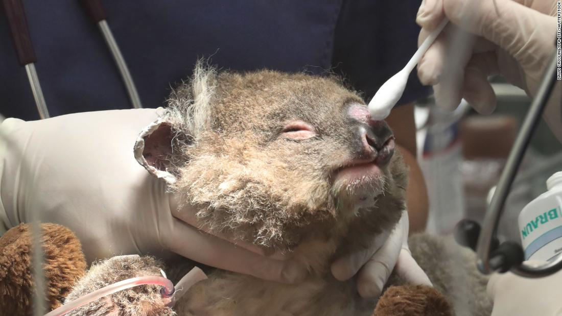 A young koala named Jeremy receives medical attention for burns at the Healesville Sanctuary in Badger Creek, 澳大利亚, 在一月 23.