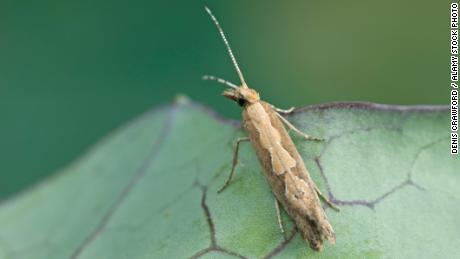 Genetically engineered moths have been released into the wild to wipe out pests