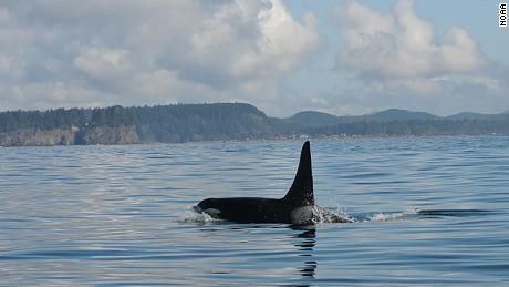 An endangered orca that fathered nearly two dozen others may be dead, spelling trouble for a family of whales