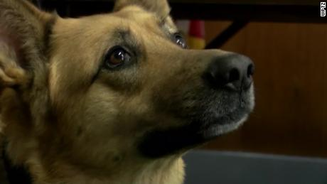 Sammy, a 6-year-old K-9, trained in monitoring and drugs.