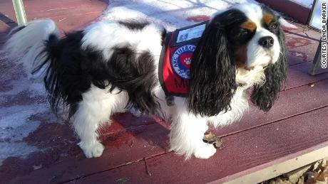 Murfee, a 3-year-old cavalier king Charles Spaniel, is a challenger in the running of the pet mayor.