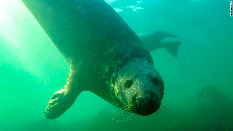 Grey seal captured clapping its flippers for the first time