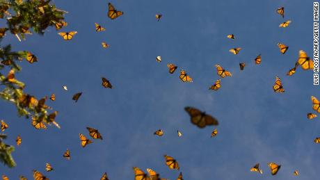 A second monarch butterfly conservationist has been found dead in Mexico
