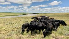 Five hundred cows and a few oxen graze in tight formation in a penned off part of Danie Slabbert's veld. The cows must eat all the grass, allowing better grasses to survive.